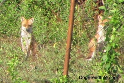 Two fox sitting behind a chain link fence