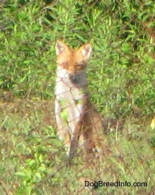 Fox sitting behind a chain link fence