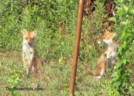 Two fox sitting behind a chain link fence and one is looking into the distance