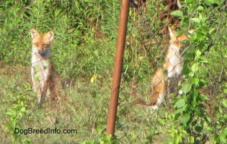 Two fox sitting in grass behind a chain link fence