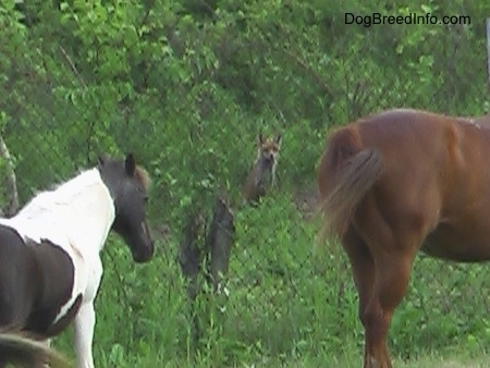 Fox in the woods behind a chain link fence looking at two horses in the foreground