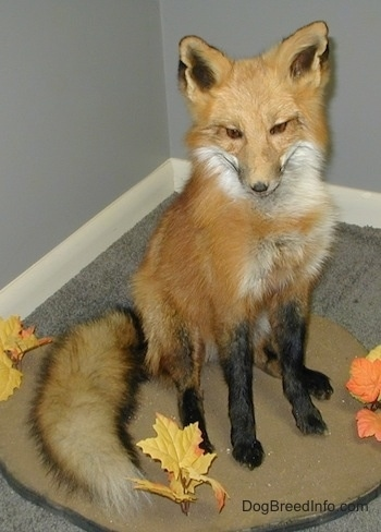 Taxidermied fox in an office