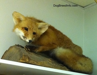 Taxidermied Fox placed in the corner of an office on a shelf