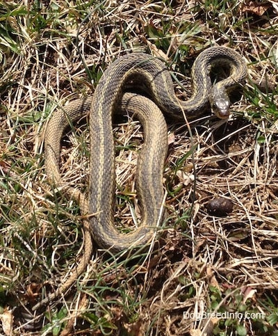 Camouflaged garter snake laying in a grassy field