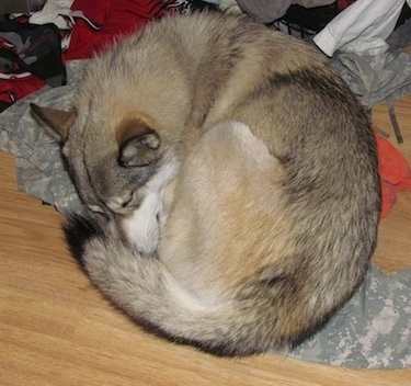 A wolf-like white, tan and grey Gerberian Shepsky puppy is sleeping in a ball on top of a pair of camo pants and other clothes in a pile