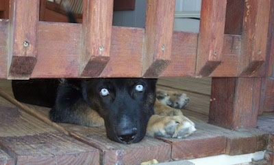 A blue-eyed black with tan Gerberian Shepsky is laying down on a red wooden porch with its head peering out from under the bannister