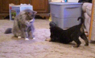 A little black with tan Gerberian Shepsky puppy is kneeling in front of a grey with white cat. The cat is sitting in front of the puppy. The cat and the puppy are the same size.