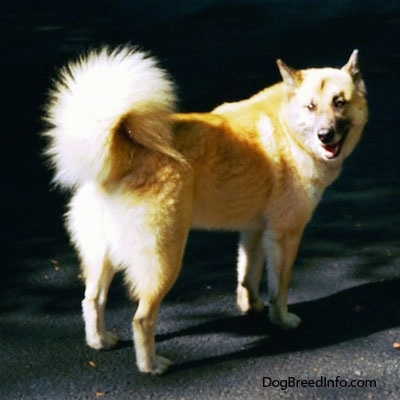 A tan with white and black Gerberian Shepsky is standing on a blacktop driveway with his back facing the camera looking back smiling.