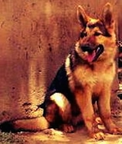 A black and tan German Shepherd is outside sitting in front of a wall. Its mouth is open and tongue is out