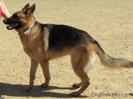 A black and tan German Shepherd is walking to the left as a human hand guides it.