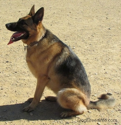 A black and tan German Shepherd is sitting down outside in the dirt and facing the left. Its mouth is open and tongue is out