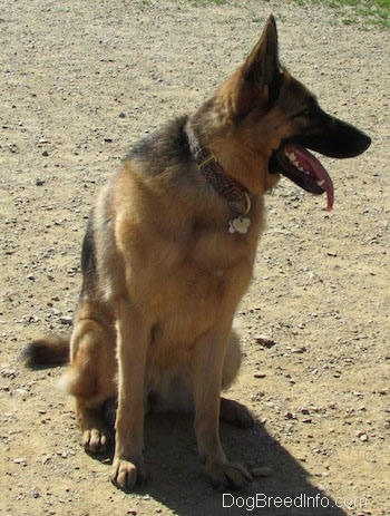 A panting black and tan German Shepherd is sitting in dirt looking to the right.