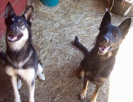 Two German Shepherd Dogs are sitting in hay and they are looking up. Their mouths are open and it looks like they are smiling. One dog is black and light cream colored tan and the other is black with a small amount of darker tan.