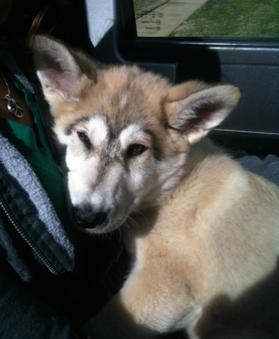 Close up - A thick coated tan German Shepherd/Malamute mix is laying across a persons lap in a vehicle.