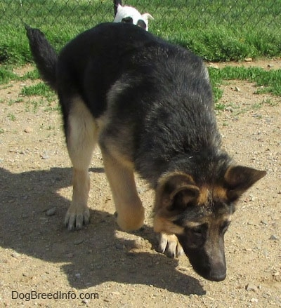 A black and tan German Shepherd is exploring outside in the dirt