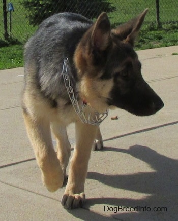 A black and tan German Shepherd puppy is wearing a prong collar and walking across concrete