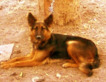 A black and tan German Shepherd is laying in dirt in front of a tree and looking towards the camera.