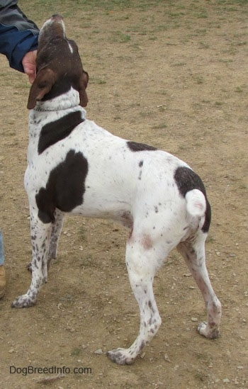 A white with brown German Shorthaired Pointer is standing in dirt. Its head is up and a person is scratching its chin