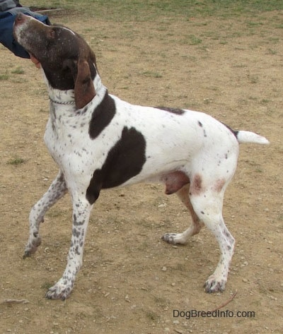 A white with brown German Shorthaired Pointer is standing in dirt. A person is scratching the side of its head