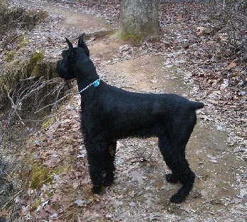 A black Giant Schnauzer is standing on a leafy dirt path on a trail.