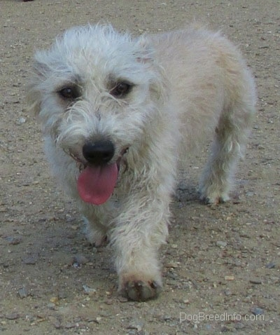 A panting Glen of Imaal Terrier is walking across dirt towards the camera.