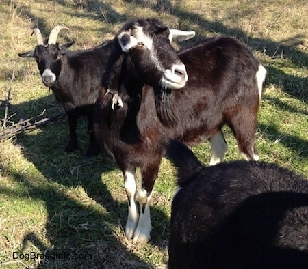 Three black goats are standing outside. The middle Goat is looking up and to the  right. There is a Goat behind it that is looking forward.