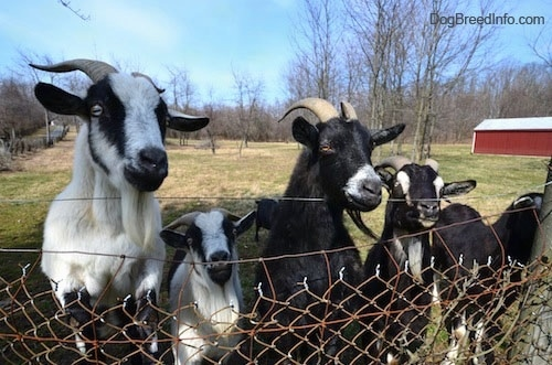 Four goats are standing in grass in front of a chain link fence. Two of them have their front legs on the fence so their faces are over the top.