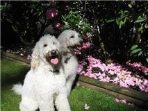 Two panting cream-colored Goldendoodles are sitting next to each other in front of a flower bed that has a lot of pink flowers in it.