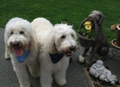 Two cream colored Goldendoodles are standing on a sidewalk. There is a stone dog statue and a buddha statue next to the dogs