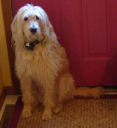 A Goldendoodle is sitting on a rug in front of a red door