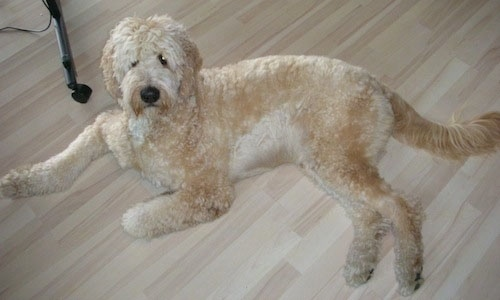 A large cream and tan Goldendoodle is laying on a hardwood floor looking up