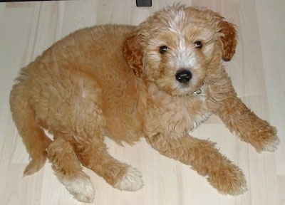 A dark tan with white Goldendoodle puppy is laying on a light colored hardwood floor and looking up
