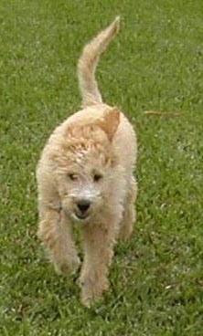 A Goldendoodle puppy is trotting across grass towards the camera.
