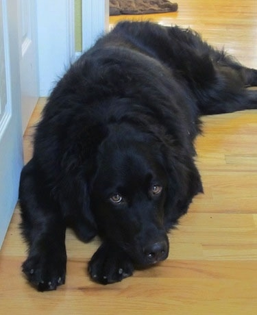 A black Golden Mountain Dog is laying on a hardwood floor in front of a door
