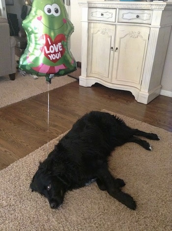 A black Golden Mountain Dog is laying on its side on a tan throw rug. Behind it is a green frog mylar balloon with the words - I Love You - on it