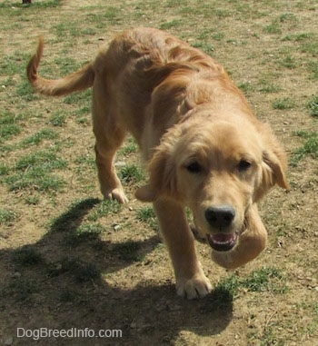 A Golden Retriever puppy is trotting with its head low towards the camera with its mouth open.