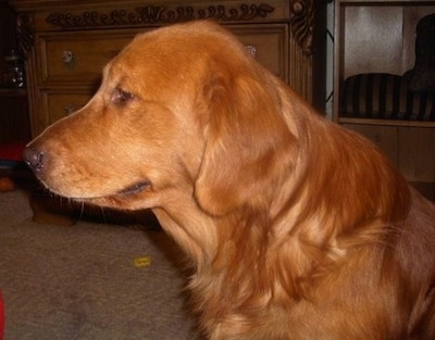 Close Up - A red Golden Retriever is looking to the left inside of a living room.