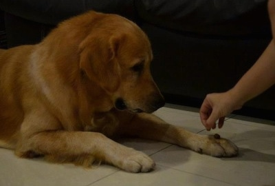 A Golden Retriever is laying on a tiled floor. A person has placed a treat on its paw and the Golden Retriever is looking at it