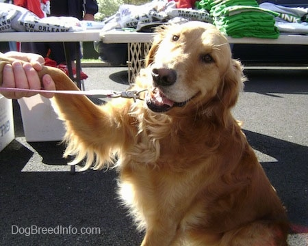 A smiling Golden Retriever is sitting on a black top with its paw in a person's hand at a flea market with tables of shirts for sale behind it.