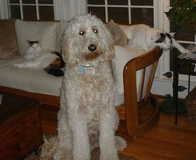 A Goldendoodle is sitting on a hardwood floor in front of a couch that has two cats on it.