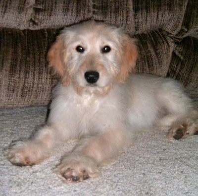 A white and tan colored Goldendoodle puppy is laying in front of a couch
