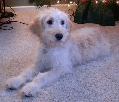 A white and cream Goldendoodle puppy is laying on a tan carpet in front of a Christmas tree