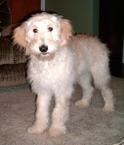 A white and cream Goldendoodle puppy is standing on a carpet.