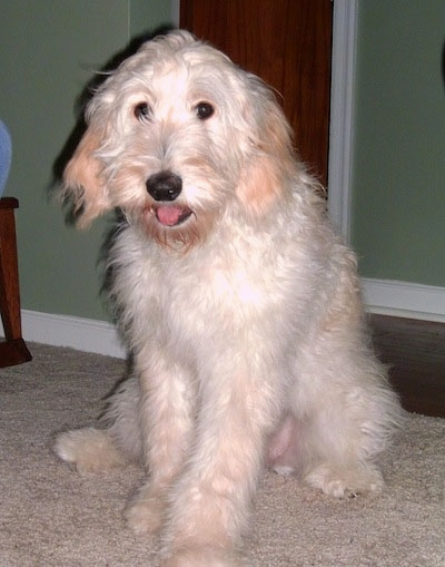 A white and cream colored Goldendoodle puppy is sitting on a carpet in front of a green wall. Its mouth is open and tongue is out