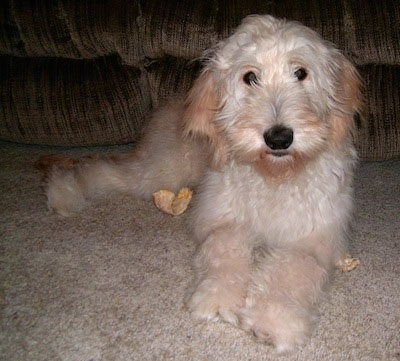 A light colored Goldendoodle puppy is laying in front of a tan couch. There are pieces of a rawhide bone around it