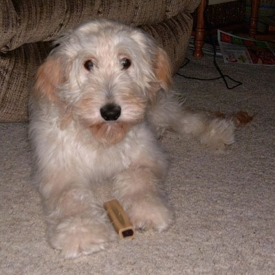 A Goldendoodle puppy is laying in front of a couch. There is a bone chew in between its front paws