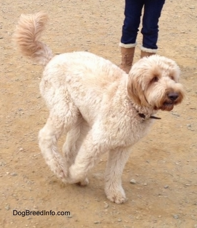 Adult Goldendoodle on the run