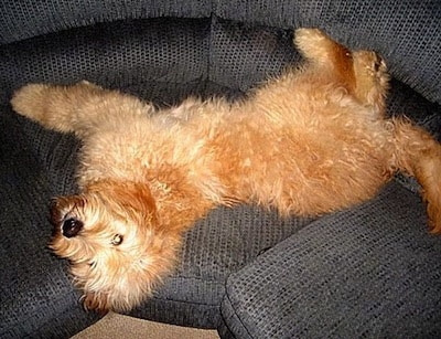 A red Goldendoodle is laying on its side on a blue couch