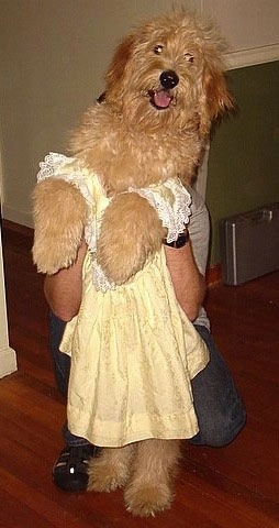 A Goldendoodle is wearing a yellow dress standing on its hind legs with a person holding the dog up