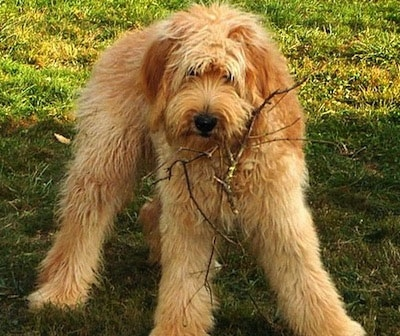 Lily Doodle the Goldendoodle at 7 months old.